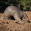 A socio-economic survey of pangolin hunting ...